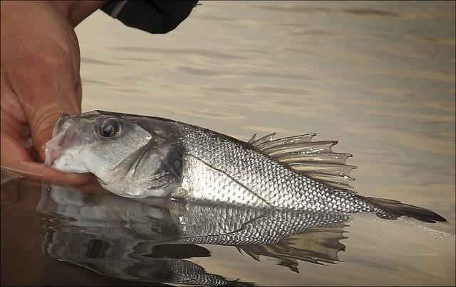 Gave vissen zijn 't!