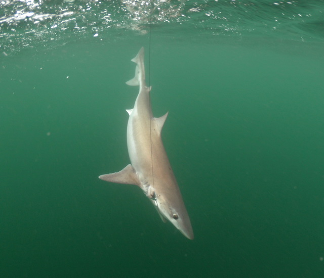 Tope / ruwe haai onder de kayak!
