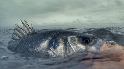 Gretige zeebaarzen in nieuwe video Water Wolves Fishing Crew.