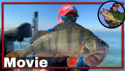 Many Big Perch in Pre Fishing for Perch Pro 7
