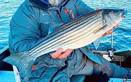 Striped bass in het IJ!